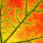 Fall Sycamore Leaf Tree Nature Maple Color