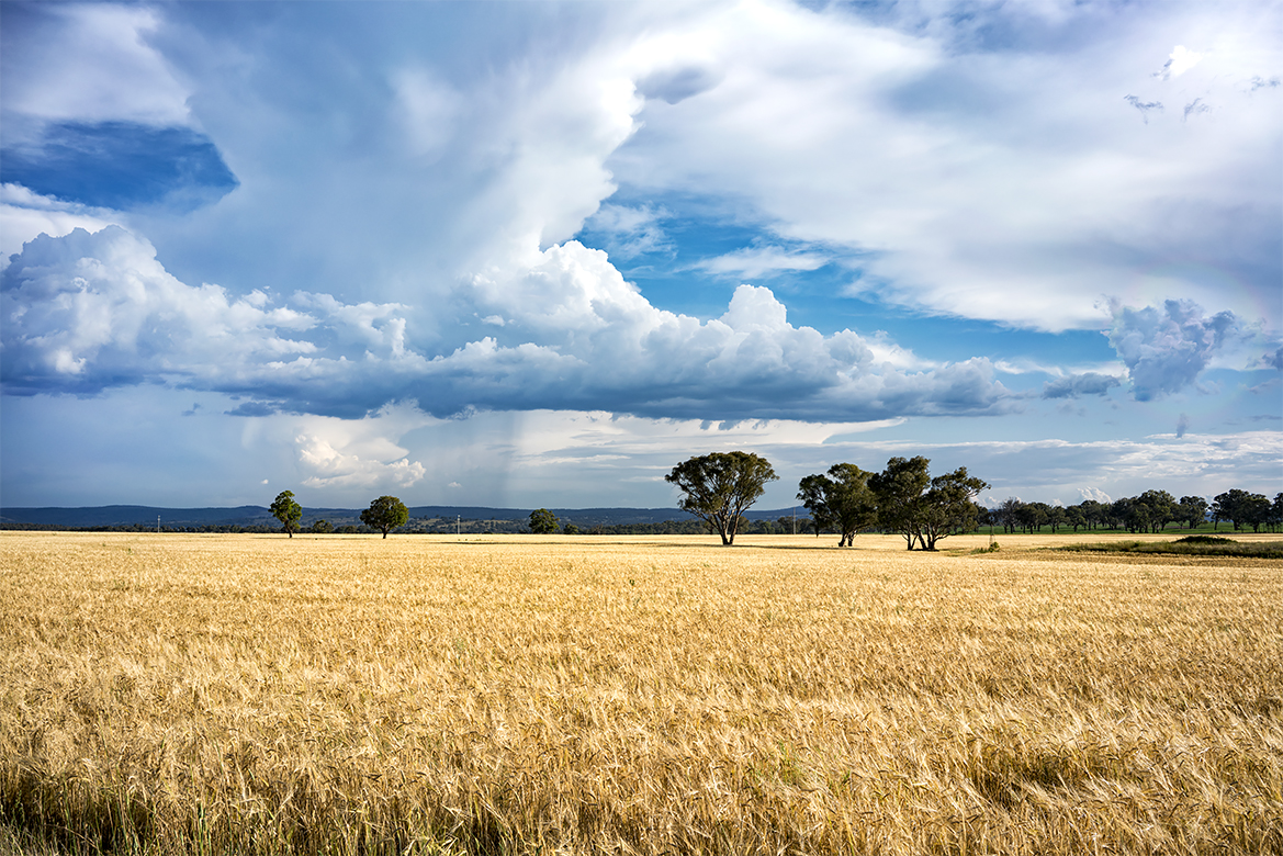 Wheat Crop - Inverell Shire