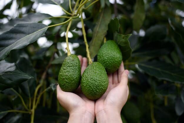 aguacate hass, porqué aplicarle abono orgánico