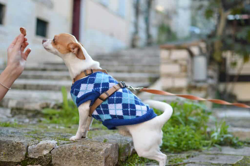 dog wearing bluish sweater