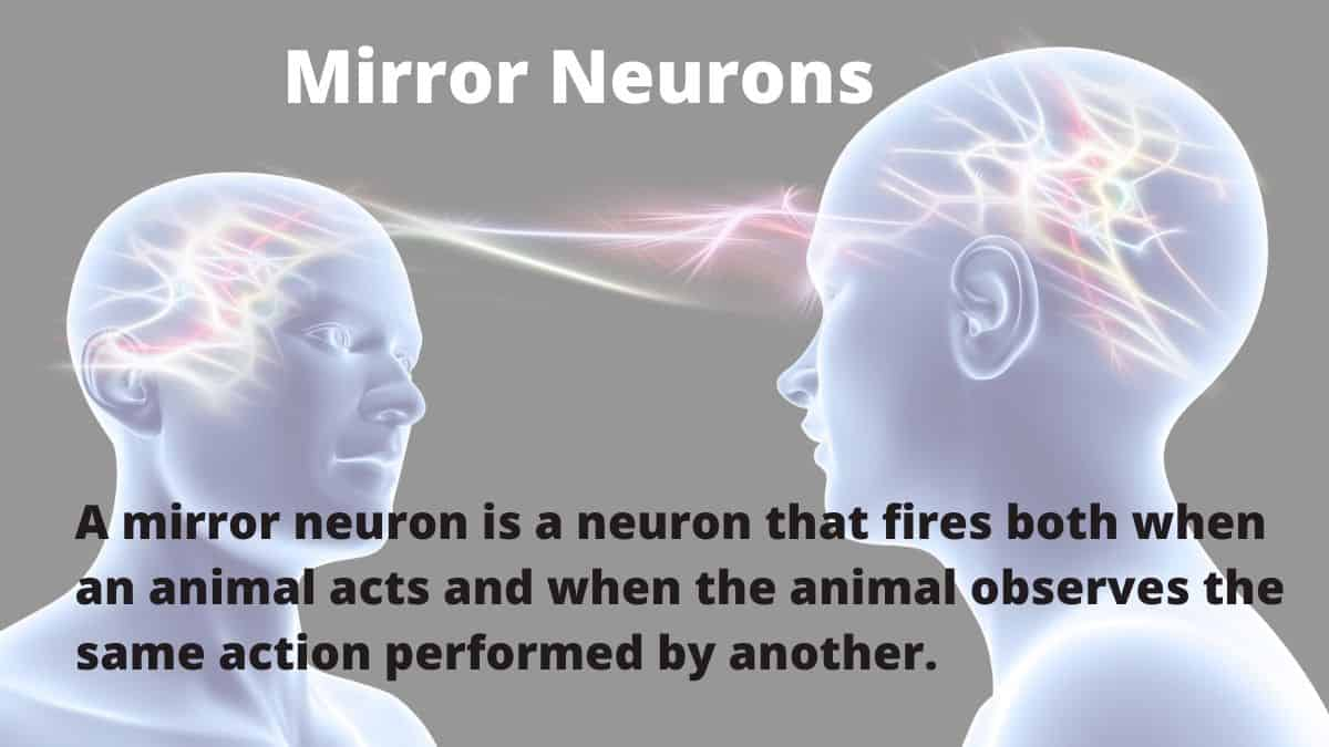 A mirror neuron is a neuron that fires both when an animal acts and when the animal observes the same action performed by another.