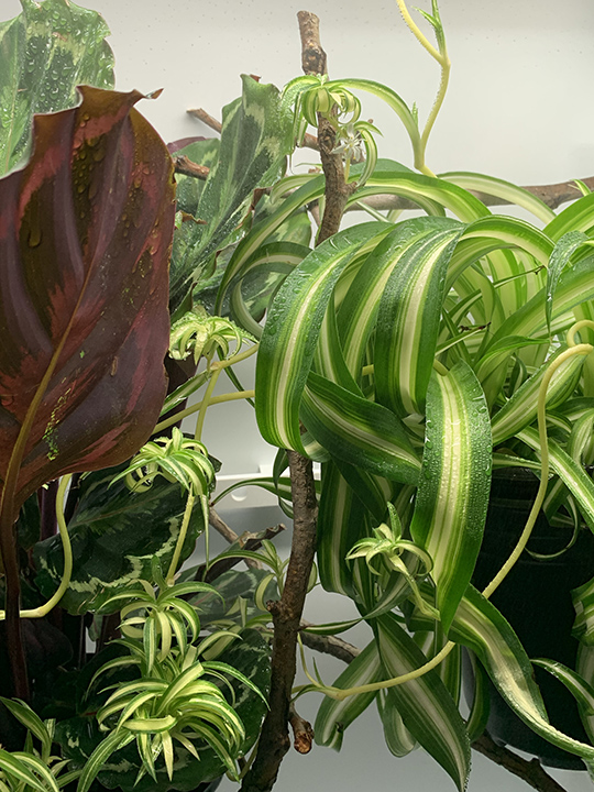 plants in a chameleon cage