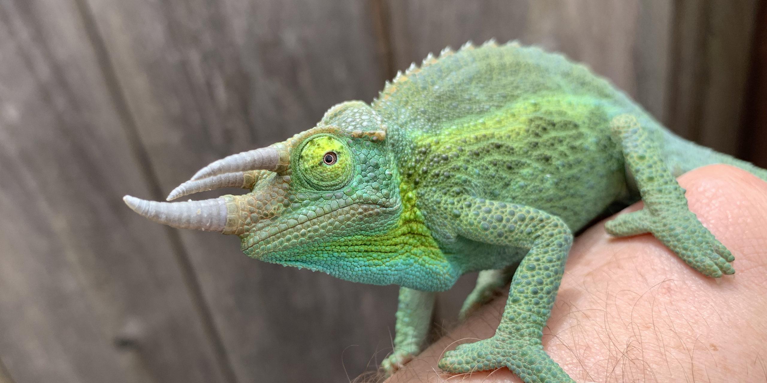 Jackson's Chameleon male