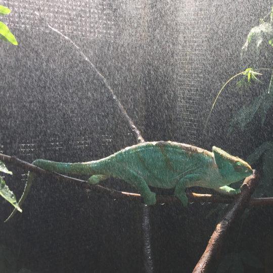 female parsons chameleon in the rain