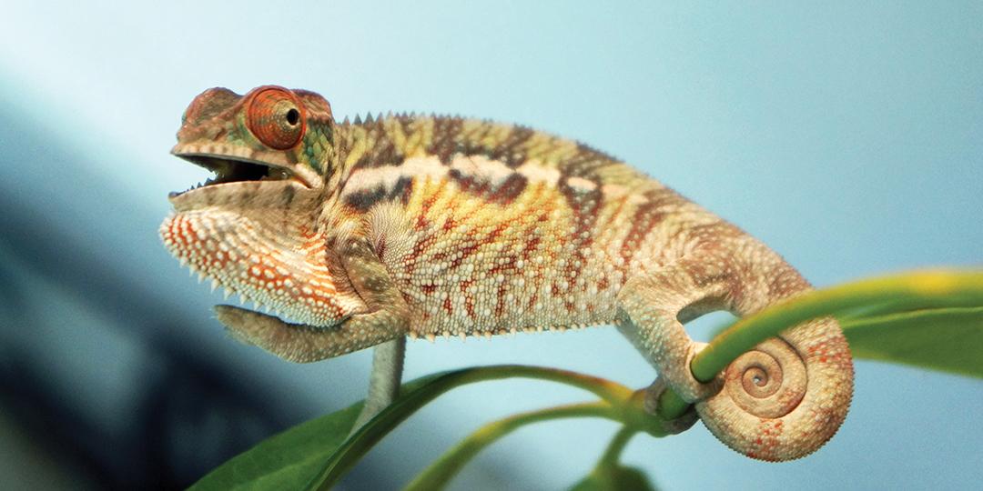 A scared Chameleon