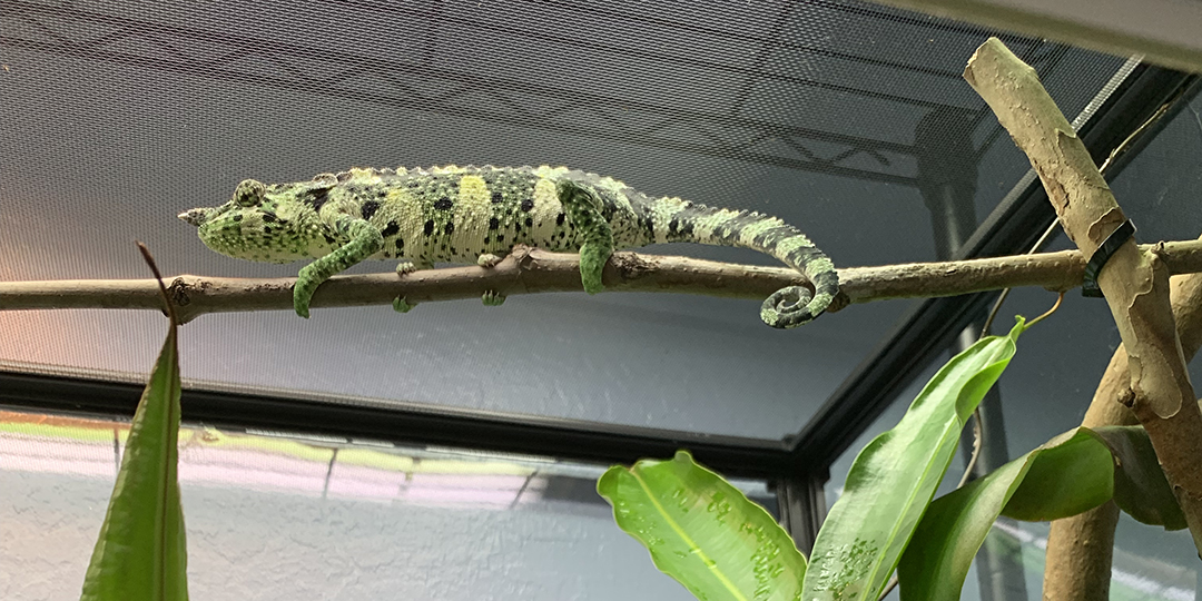 Meller's Chameleon Looking down on the world