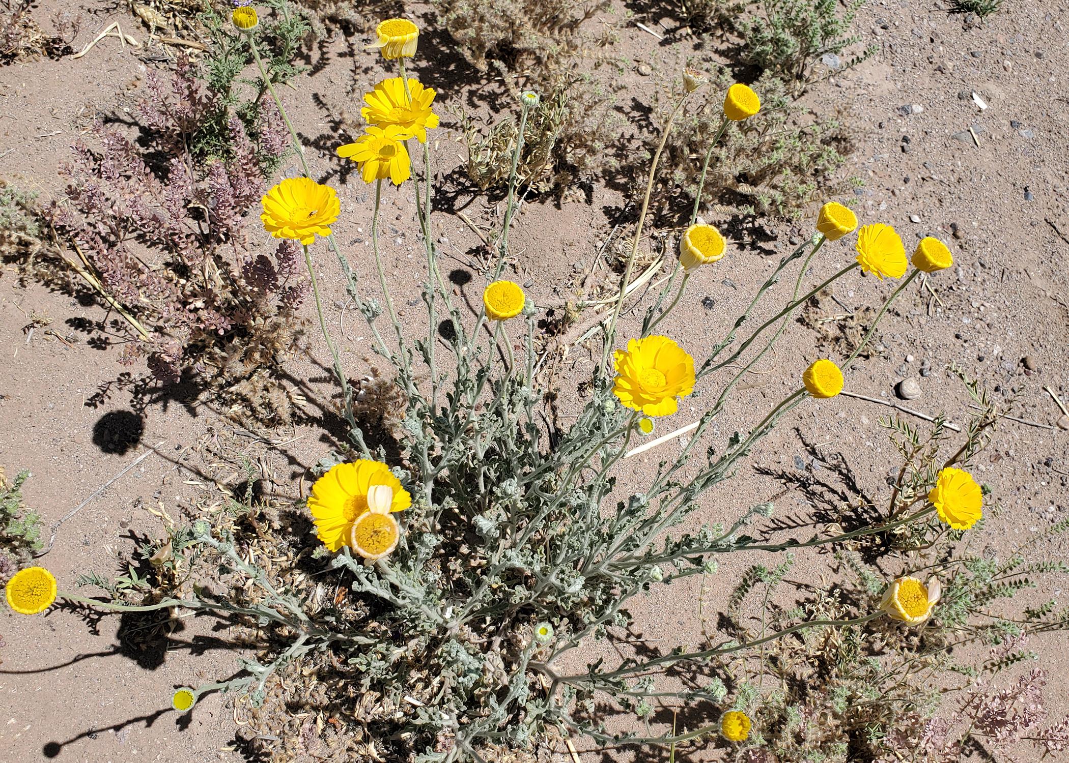 Yellow flowers in the desert.