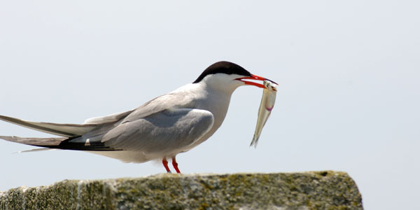 mother-tern