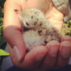 New Chick