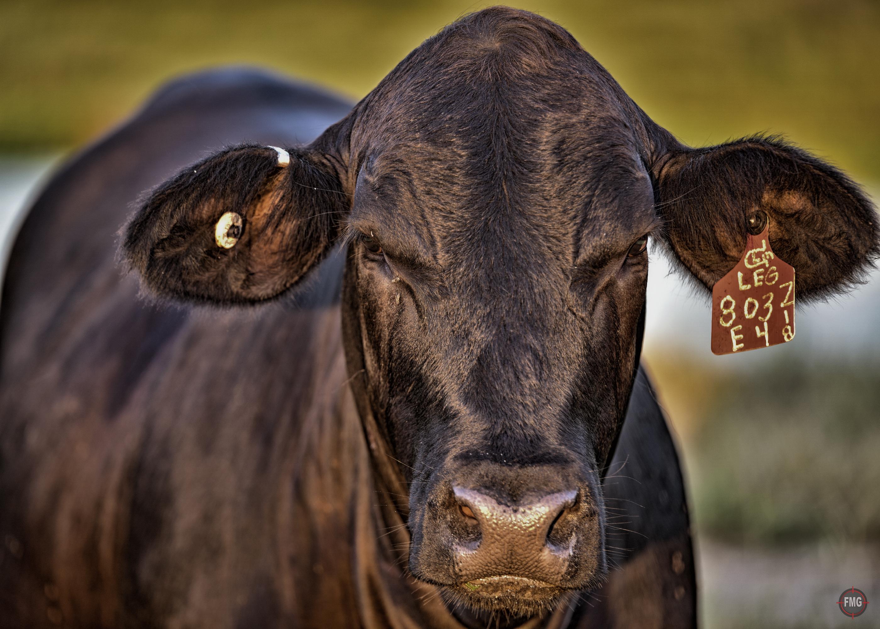 Lake Majestik Farms | HIgh Quality Brangus Breeder located in Alabama