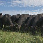 Lake Majestik Farms   HIgh Quality Brangus Breeder located in Alabama