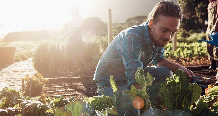 man gardening picking crops