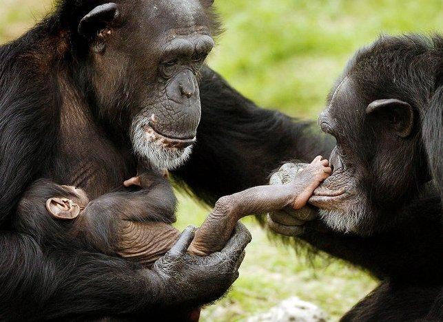 Chimpanzees' rights would be good for us