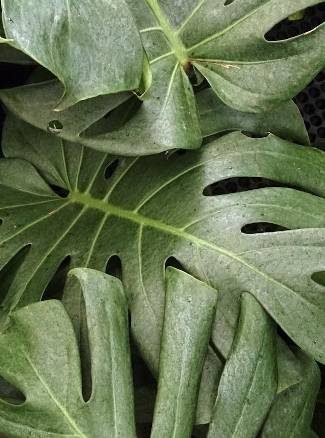 air-purifying-plant-splitleaf