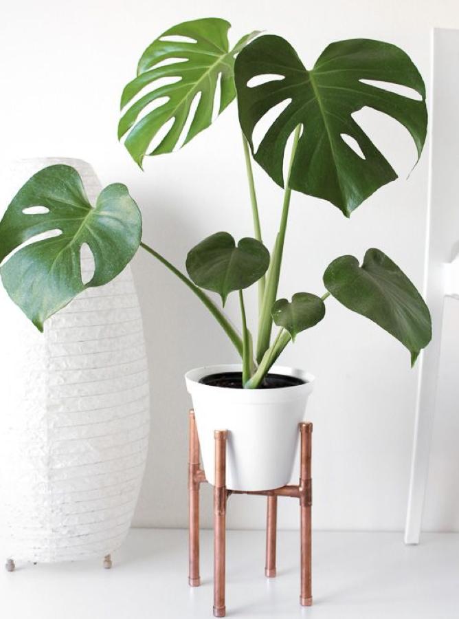air-purifying-plant-splitleaf002