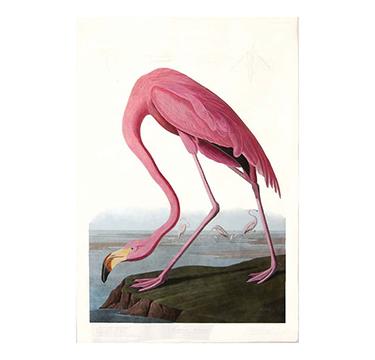 American Flamingo, John James Audobon
