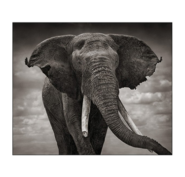 Elephant with Tattered Ears, Nick Brandt