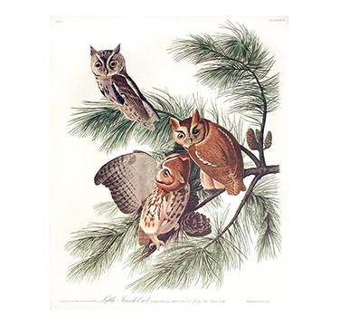 Little Screech Owl, John James Audobon