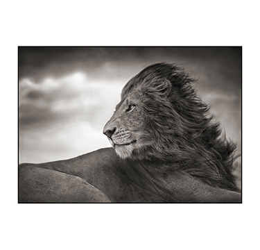 Lion Before the Storm - Close Up, Nick Brandt, #3 of 3