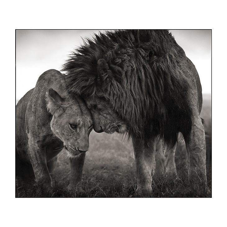 Lions Head to Head, Nick Brandt, #2 of 3