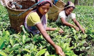 The plight of tea workers in west Bengal