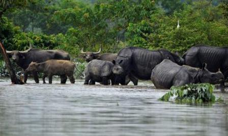 187 animals drowned, more killed fleeing Kaziranga