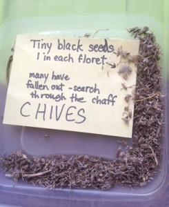 Seeds from Chive plants are saved in dried groupings, awaiting planting                                                                                                                         Courtesy Nancy Arsenault