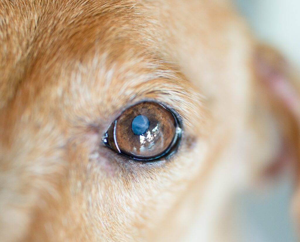 This is a classic cataract in a dog.  You can see in the center of the pupil that his lens is beginning to turn white