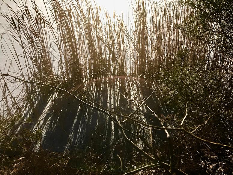 Frozen Lake Cattail