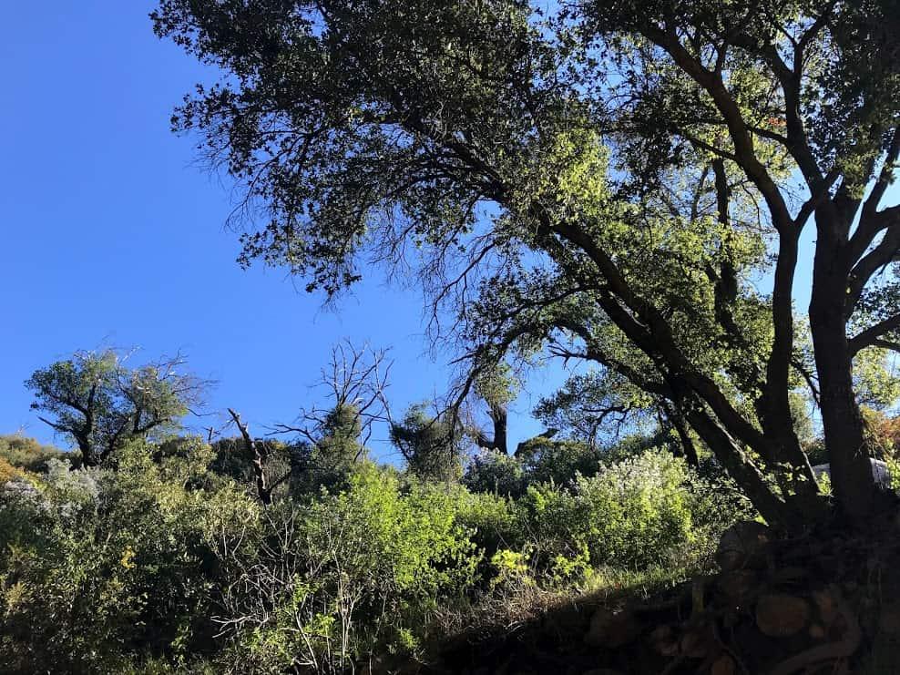 oak trees on the way to inspiration point santa barbara