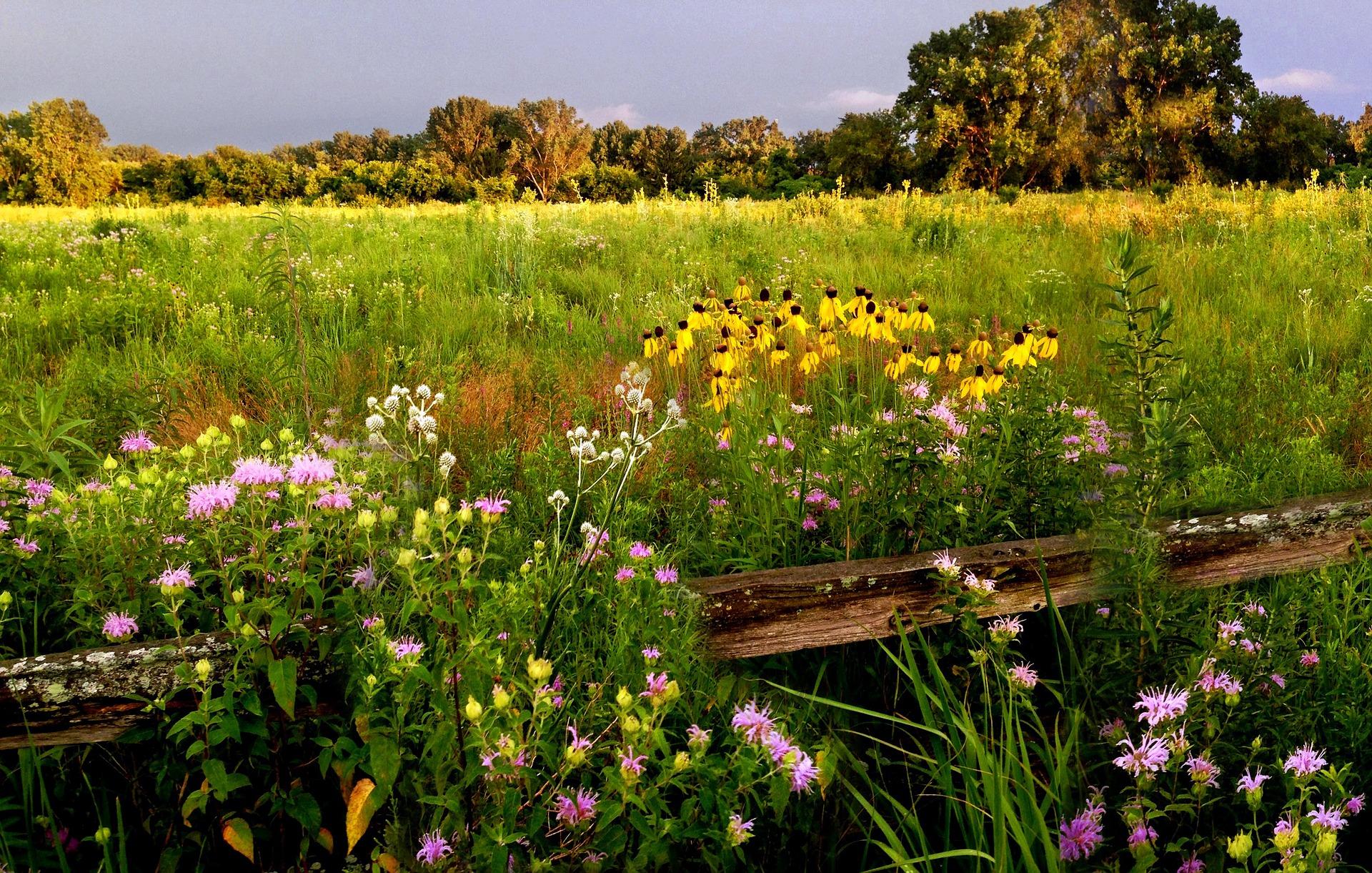 Native plant prairie wildflowers.