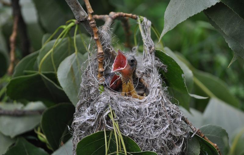 Baltimore oriole chicks in nest