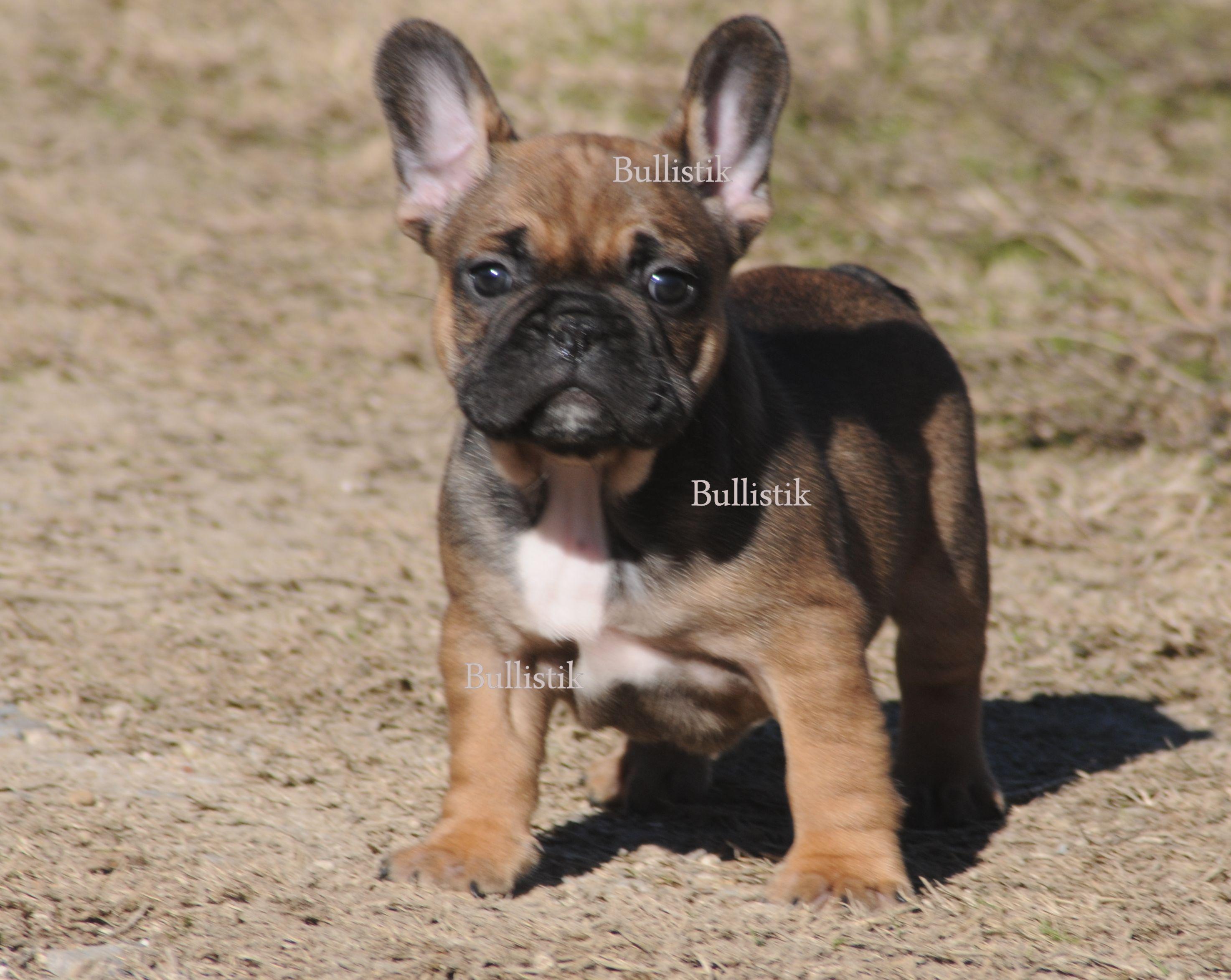 Tycoon Blue French Bulldogs By Bullistik