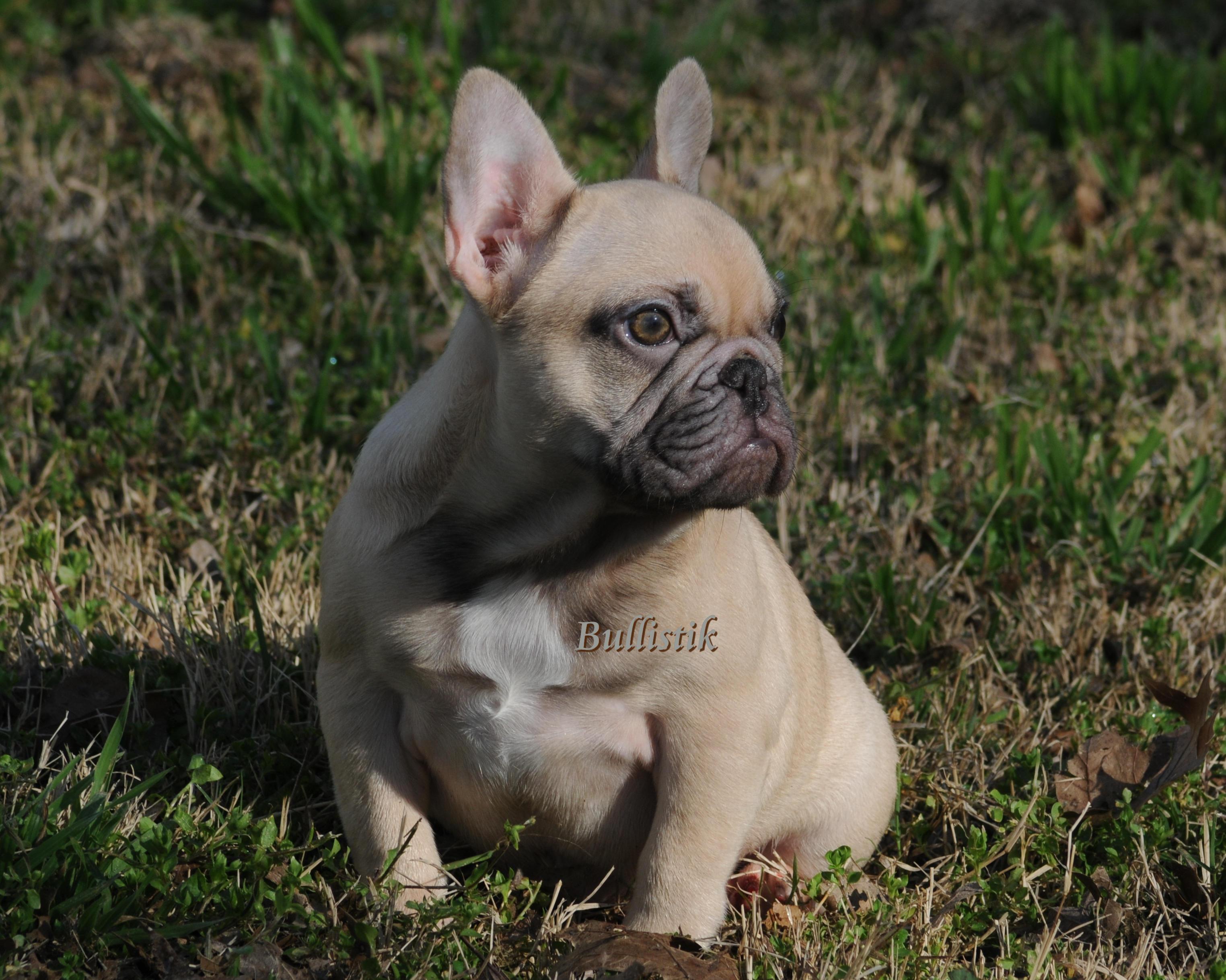Chucky Blue French Bulldogs By Bullistik