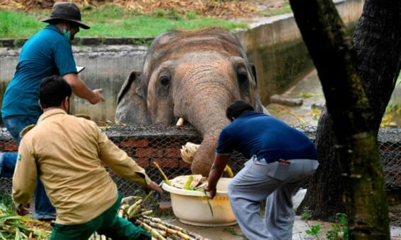 Pakistan's last Asian elephant to 'retire' in Cambodia after global campaign
