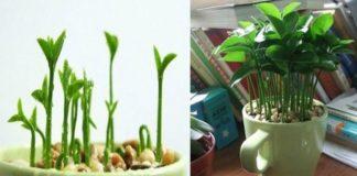 Cómo plantar limón en una taza para perfumar y decorar tu hogar