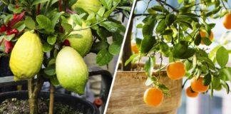 Cómo hacer para crecer frutas desde tu casa, son muy fáciles de cultivar