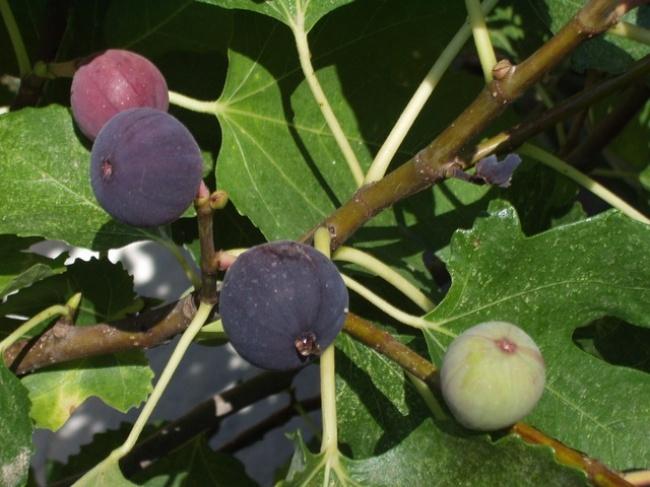 Higos, frutas deliciosas y fáciles de plantar