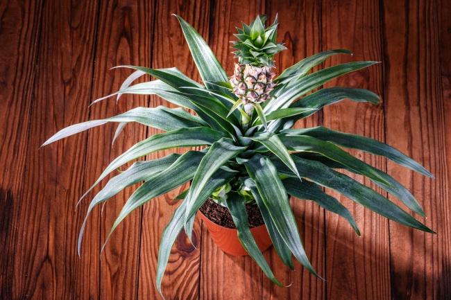 La piña es más sencilla de cultivar