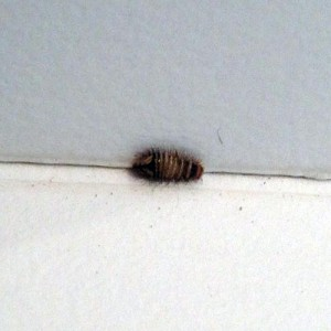 Carpet Beetles Canton Georgia Termite Amp Pest Control
