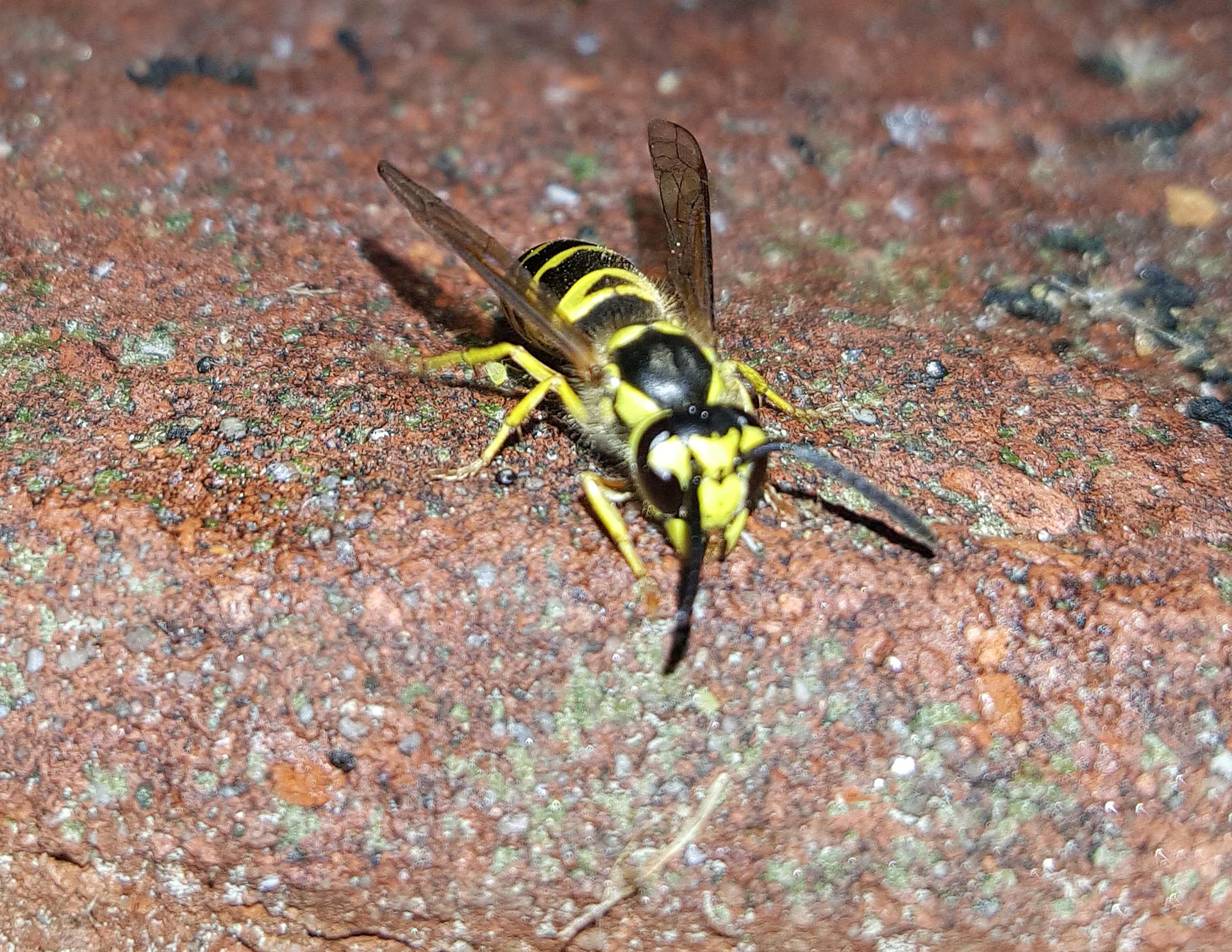Yellow Jacket – Hornets