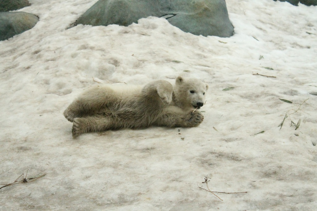 Humprey polar bear cub