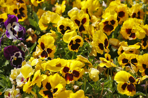 "Charming field flowers ""pansies"" on the dim background"