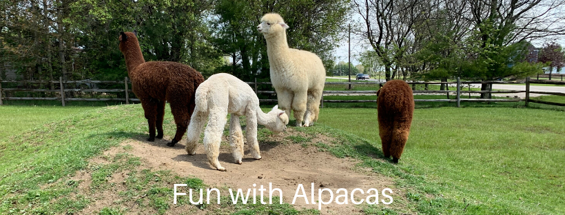 Aging Gracefully with Alpacas