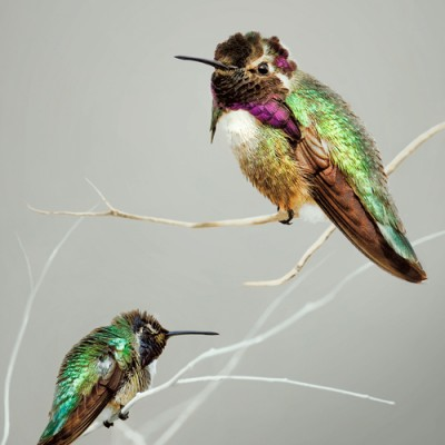 2 Costas Hummingbirds