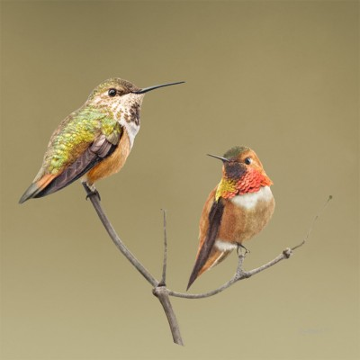 2 Rufus Hummingbirds