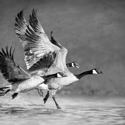 Canda Geese Take Off