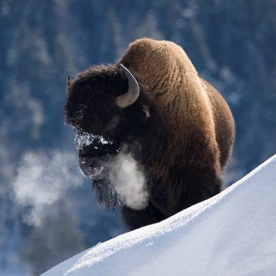 Mark N. Roberts Bison Breath Photograph