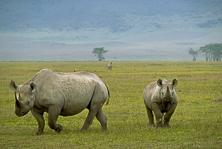 Endangered rhinosNorton--303