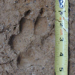 Paw Print of Adult Coyote